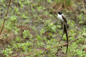 Long-tailed martin