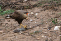 Southern crested caracara eating a fish