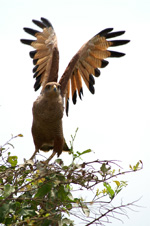 Savanna Hawk, take off