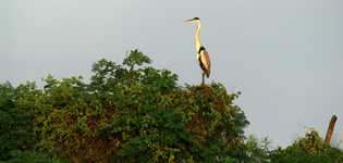 Cocoi heron in the sunset