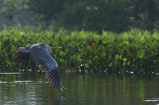 Cocoi heron, in flight