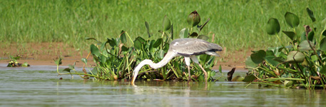 Cocoi heron, fishing