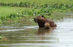 Bathing capibaras