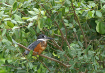 Ringed Kingfisher, male