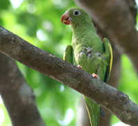 Yellow-chevroned Parakeet