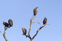 Various Vultures (lappet-faced vulture, white-backed vulture, hooded vulture)