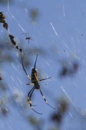 Golden orb web spider (femelle and male)