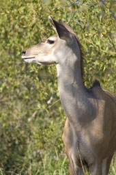 Kudu (female)