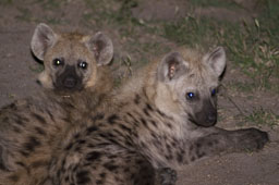 Hyenas, youngs by night