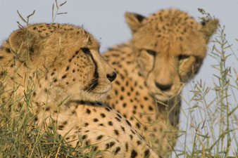 Two cheetahs, a portrait