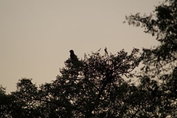 Brown snake eagle, in a tree
