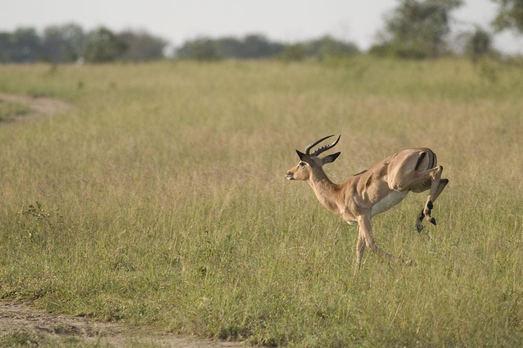 impala animal jumping - 1024×681