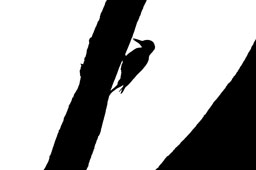 Woodpecker in black & white