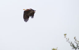 Fishing eagle - in flight