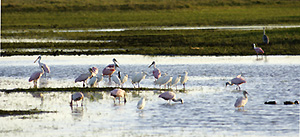 Roseate Spoonbills and Snowy Egrets