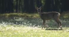 Roe deer in the sun