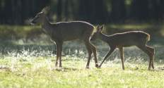 Roe deers in the sun