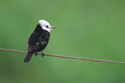 Small Brazilian bird