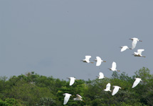 Flight of great egrets