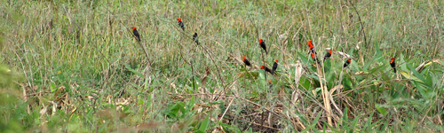 Scarlet-headed Blackbirds