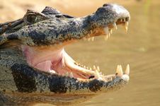 Green caiman, mouth