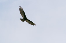 Vulture (in flight)