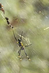 Golden orb web spider (femelle and male, back)