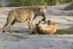 Hyenas, females
