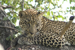 Young male Leopard in a tree