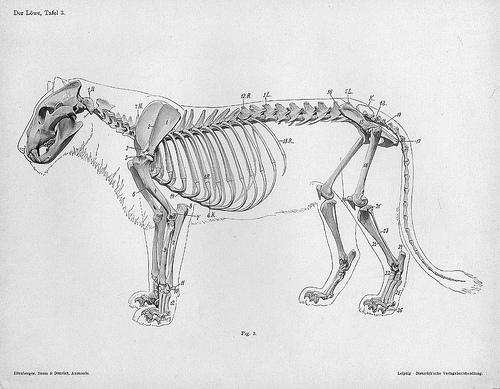 Handbuch der Anatomie der Tiere für Künstler - lion engraving