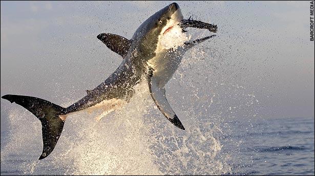 White shark eating a sea lion