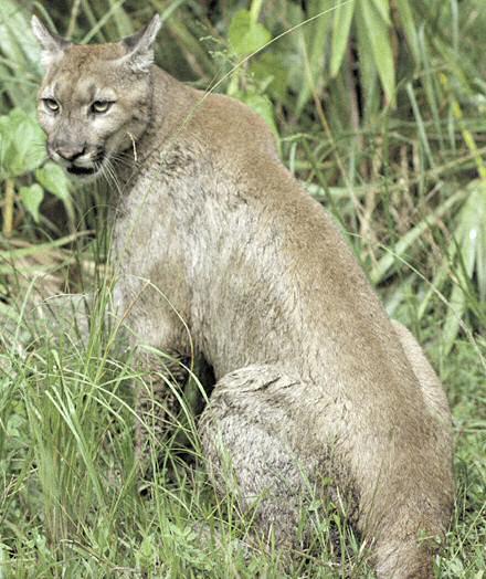 Puma - Florida panther - Puma concolor coryi