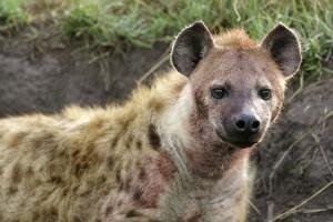 Spotted hyena - Copyright 2008 Yves Roumazeilles