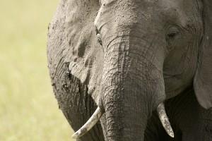 Éléphant, portrait