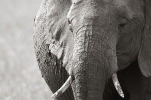 Elephant, portrait<br>(Copyright 2008 Yves Roumazeilles)
