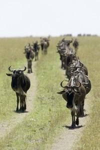 La grande migration des gnous. Ils marchent en longues files (Copyright 2008 Yves Roumazeilles)
