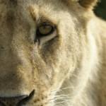 Lion portraits