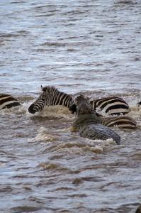 Zèbre contre Crocodile - Prise (Copyright 2008 Yves Roumazeilles)