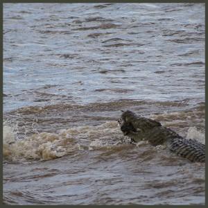 Le zèbre sera rapidement noyé et dévoré (Copyright 2008 Yves Roumazeilles)