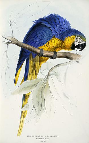 Macrocercus ararauna - Ara bleu