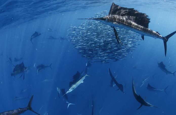 Fishing sardines, pro advice