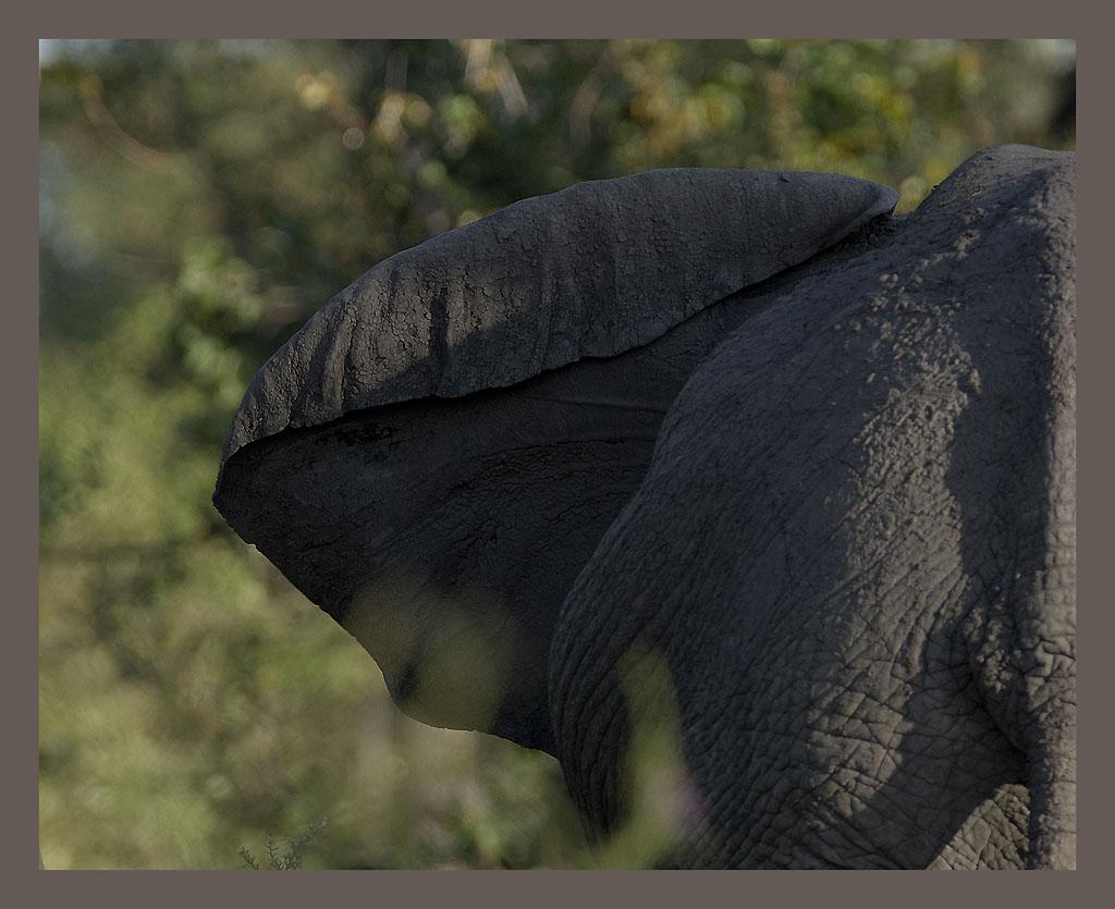 Oreille d'éléphant