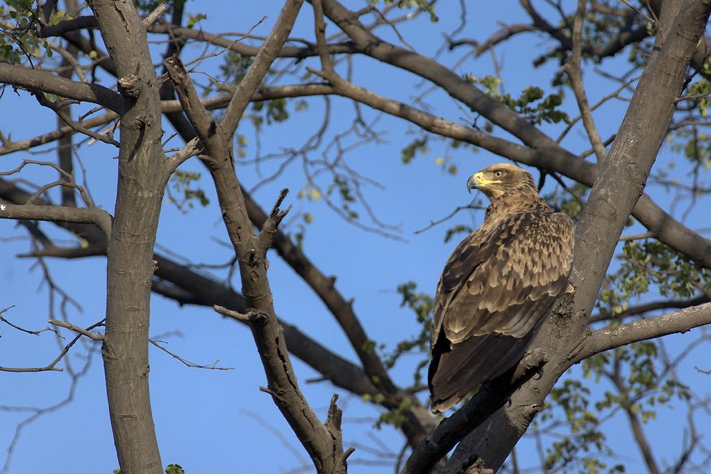 Aigle de Wahlberg, Wahlberg's eagle