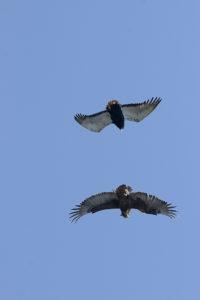 _DSC1733w - Two bateleur eagles