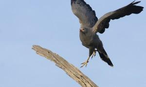 Gymnogène d'Afrique - African Harrier-Hawk