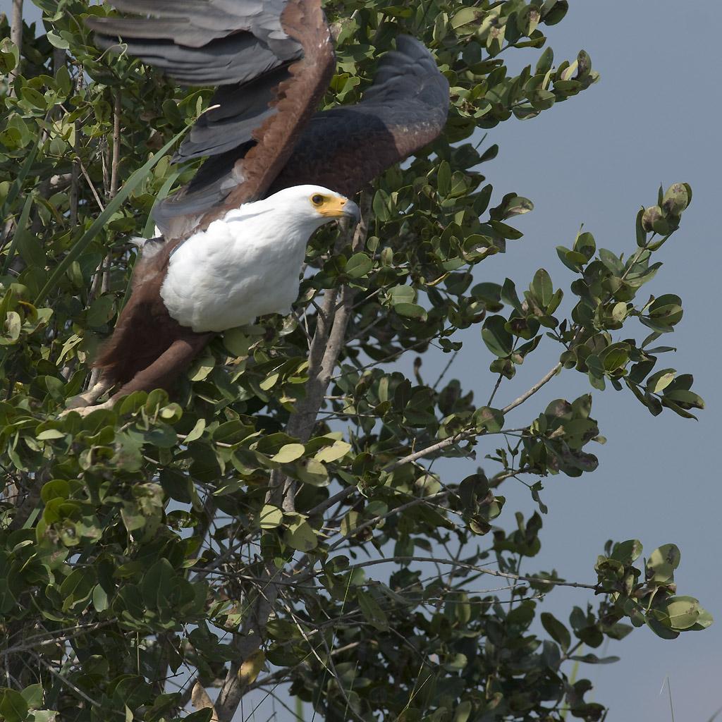 _DSC3590w - Fish eagle