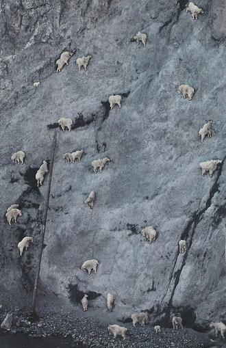 Vertigo for goats
