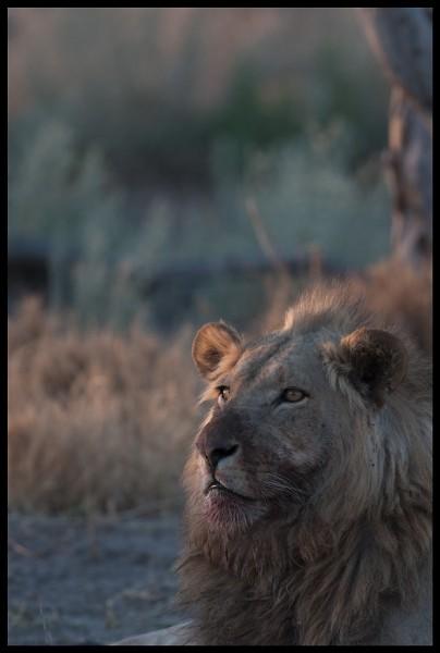 Lions of Botswana
