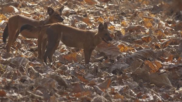 India - wild dogs