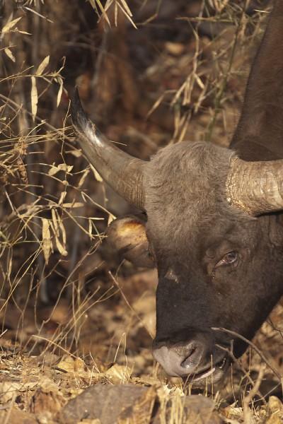 Indian bison – Gaur